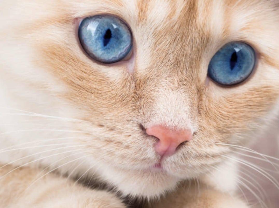 chat yeux bleus portrait