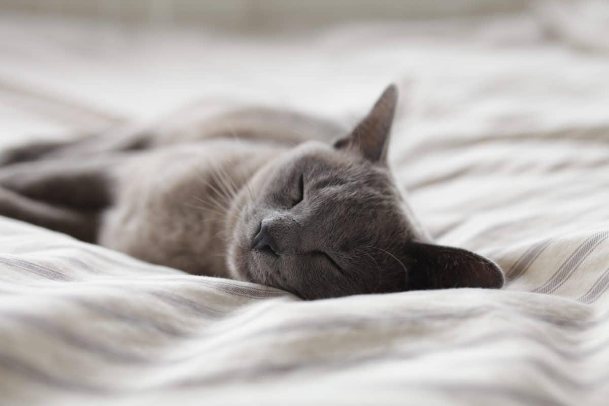 chat gris dort lit