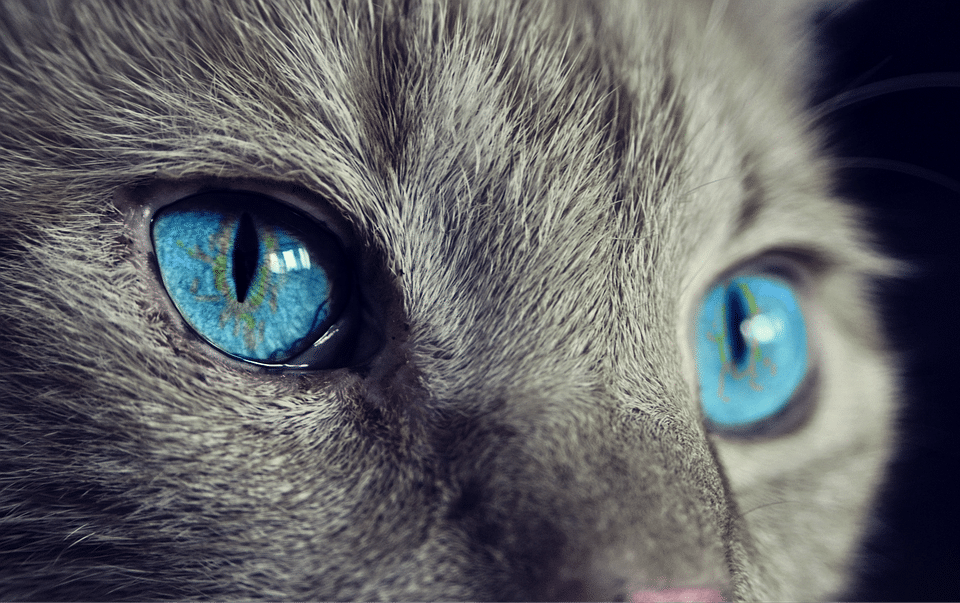 chat yeux portrait regard
