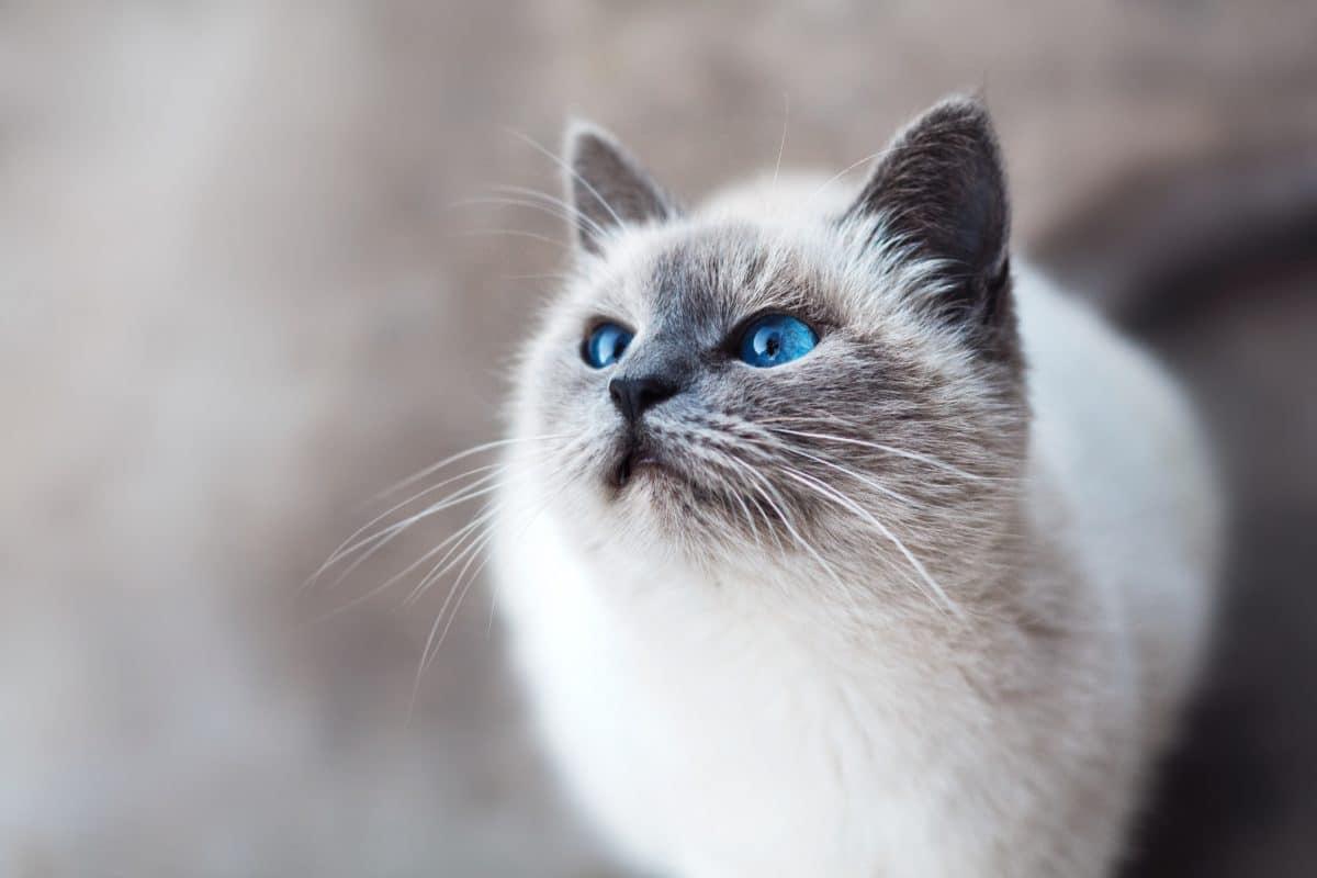 chat yeux bleus sacré de birmanie