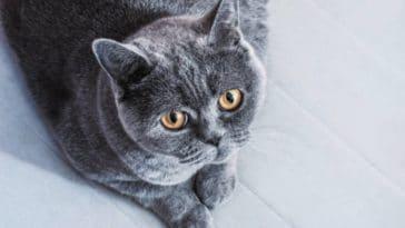 chat gris couché british shorthair