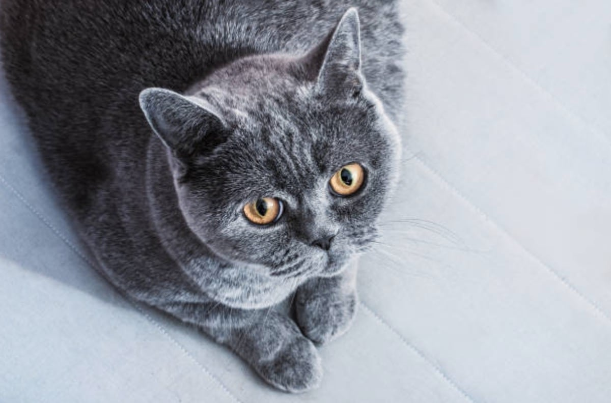chat gris couché british shorthair