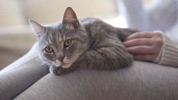 chat genoux câlin