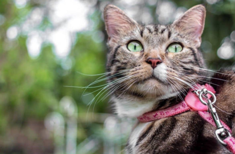 chat laisse harnais