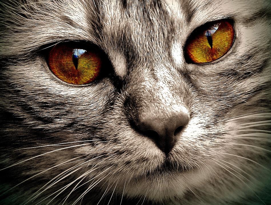 chat yeux regard portrait