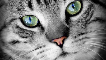 chat portrait yeux