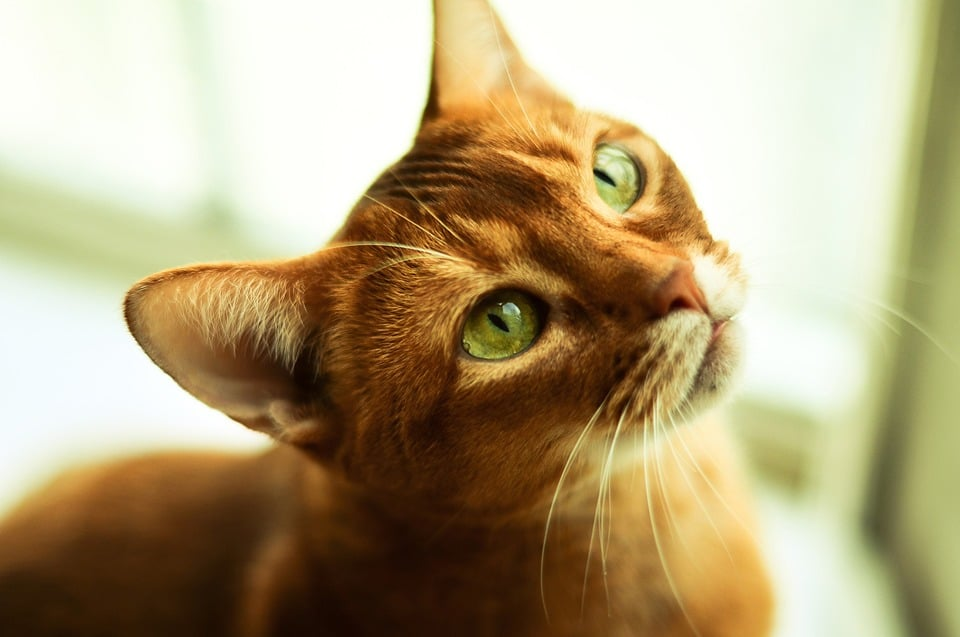 chat abyssin regard yeux verts soleil