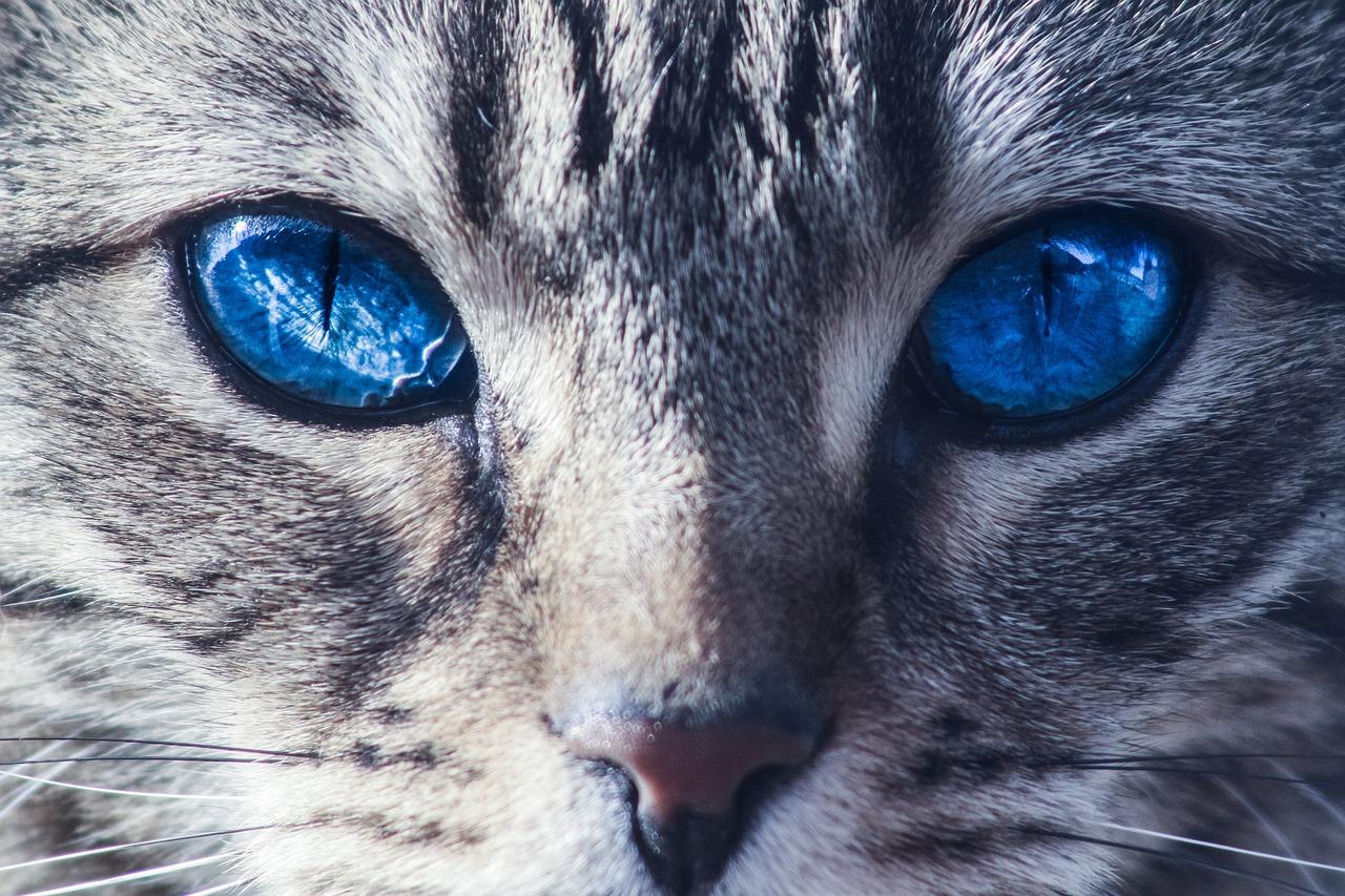 chat portrait yeux bleus