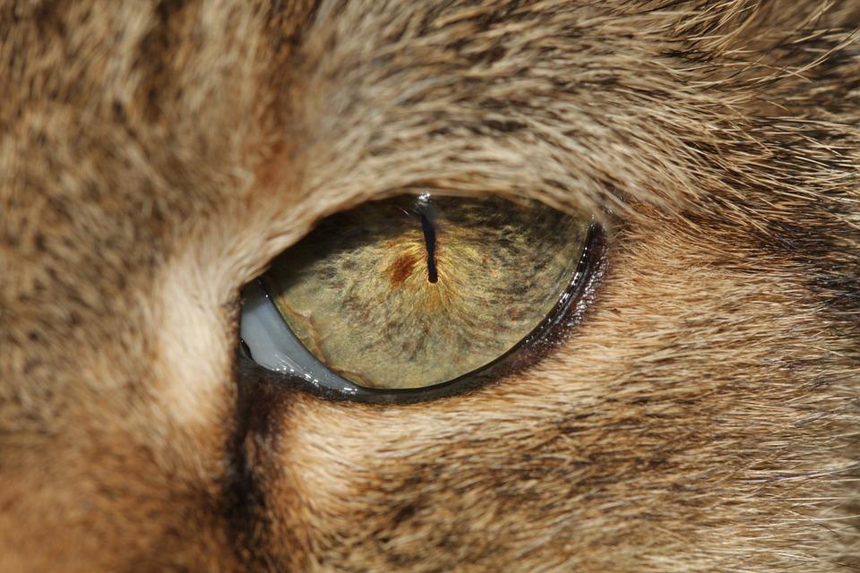 oeil chat troisième paupière