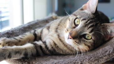 chat mau égyptien couché