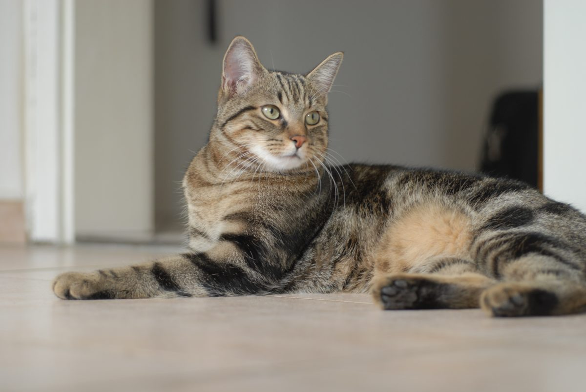 chat mau égyptien