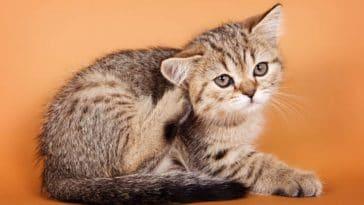 chaton gratte