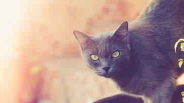 chat gris korat
