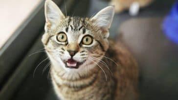 chat miaule
