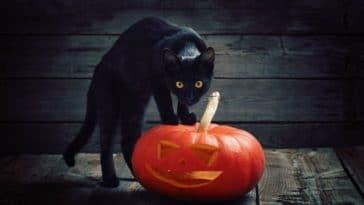 chat noir citrouille halloween
