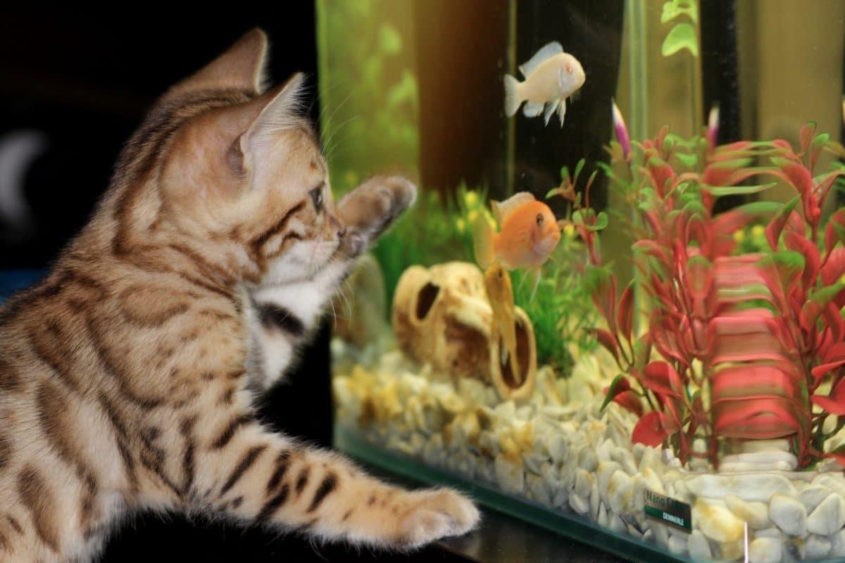 chaton aquarium