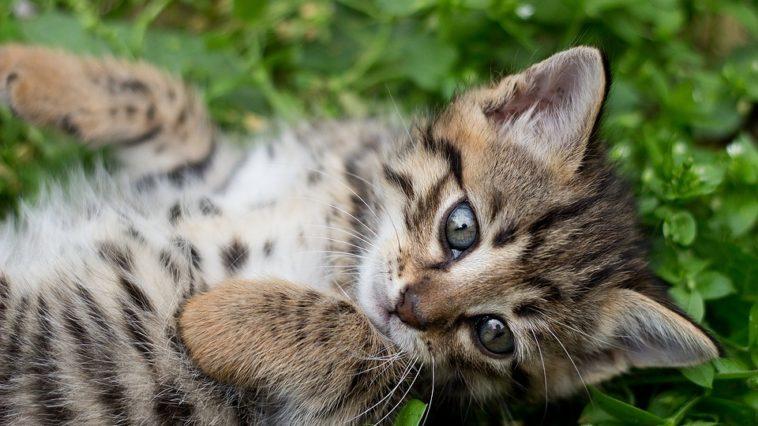 chaton tigré couché herbe