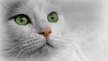 chat blanc portrait yeux verts