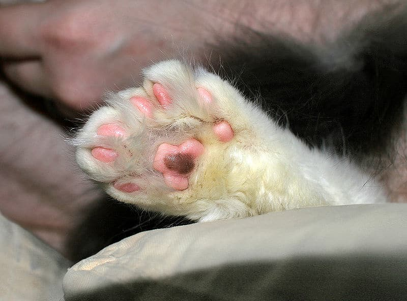 patte chat polydactyle