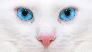 chat blanc yeux bleus portrait