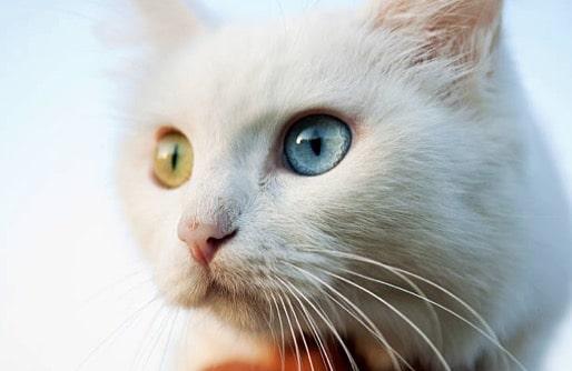 chat turc de van yeux vairons