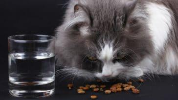 chat mange croquettes