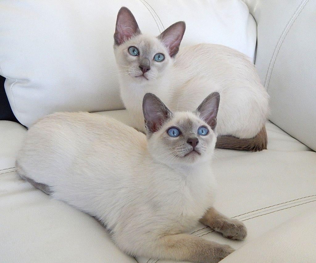 chatons tonkinois