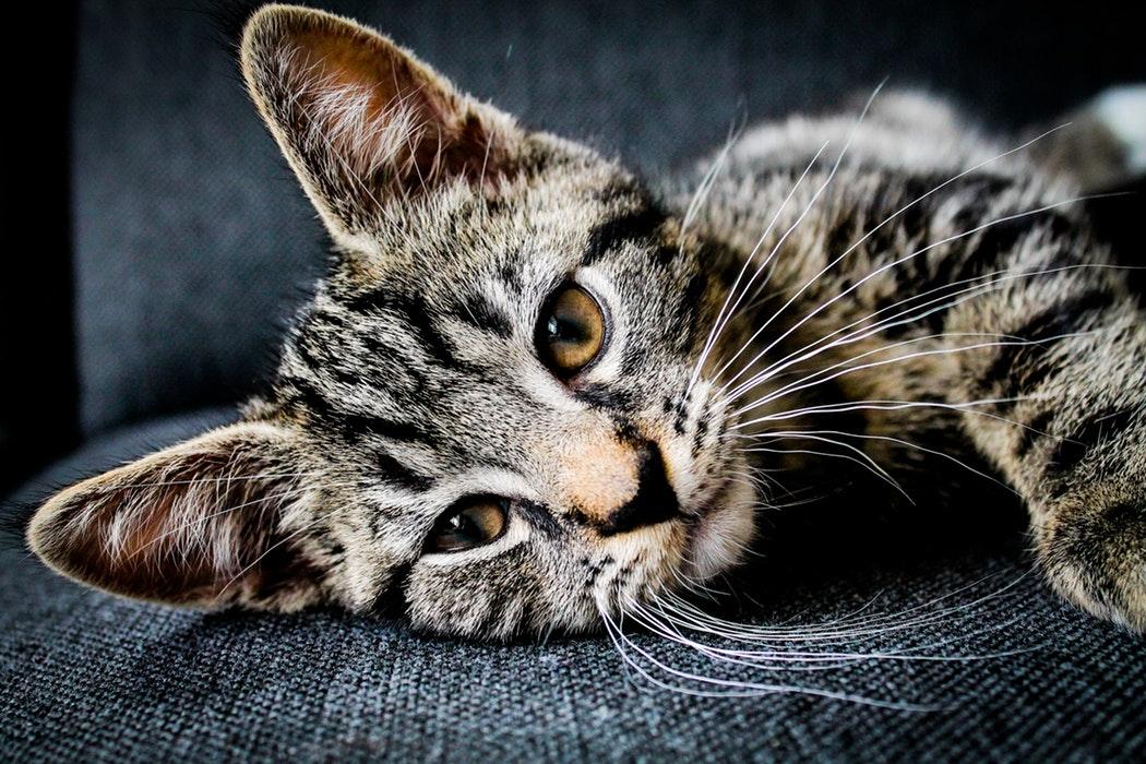 chaton couché