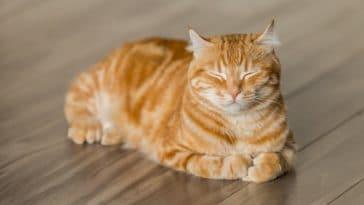 chat roux couché dort