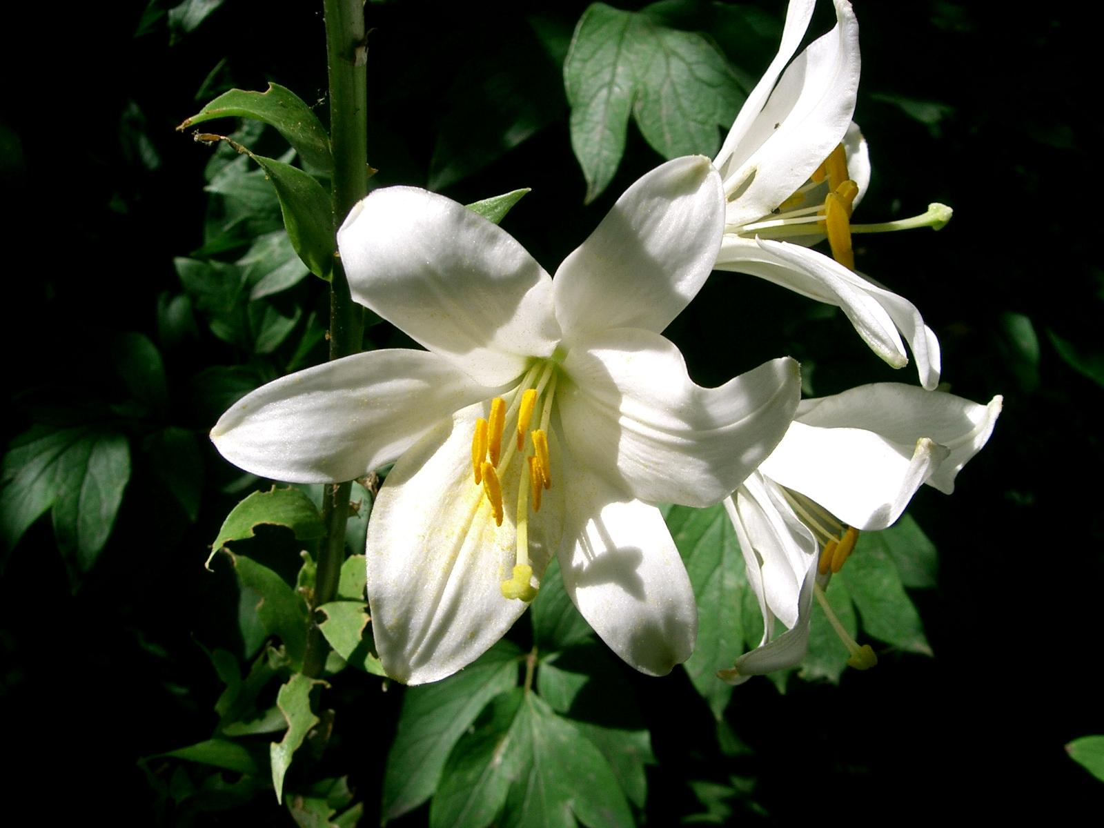 fleur de lys plante