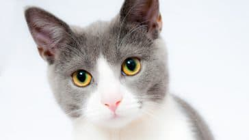 chat gris blanc portrait