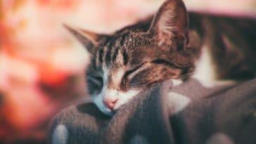 chat couché dort
