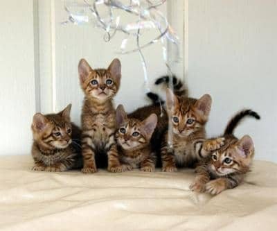 chatons toyger