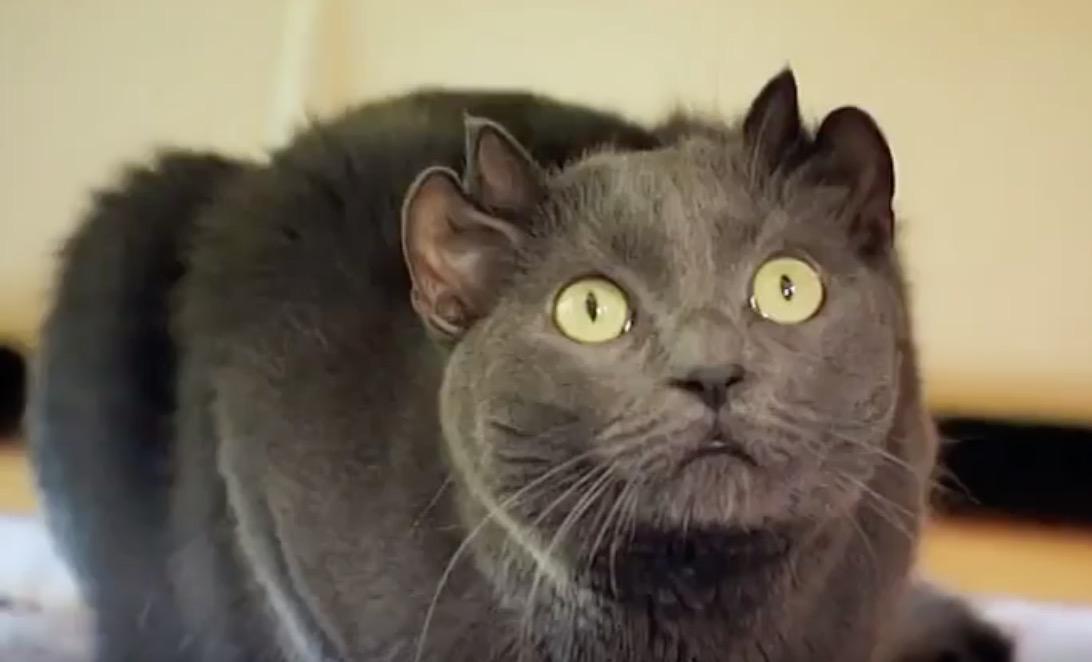 chat quatre oreilles yoda