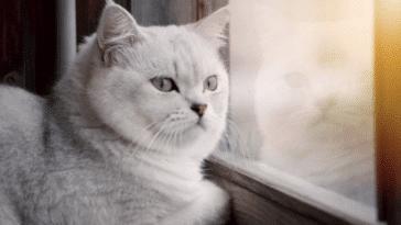 chat blanc fenêtre