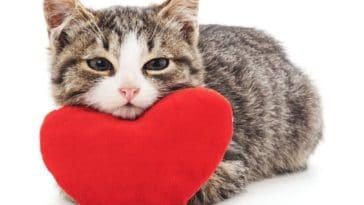 chaton couché coeur