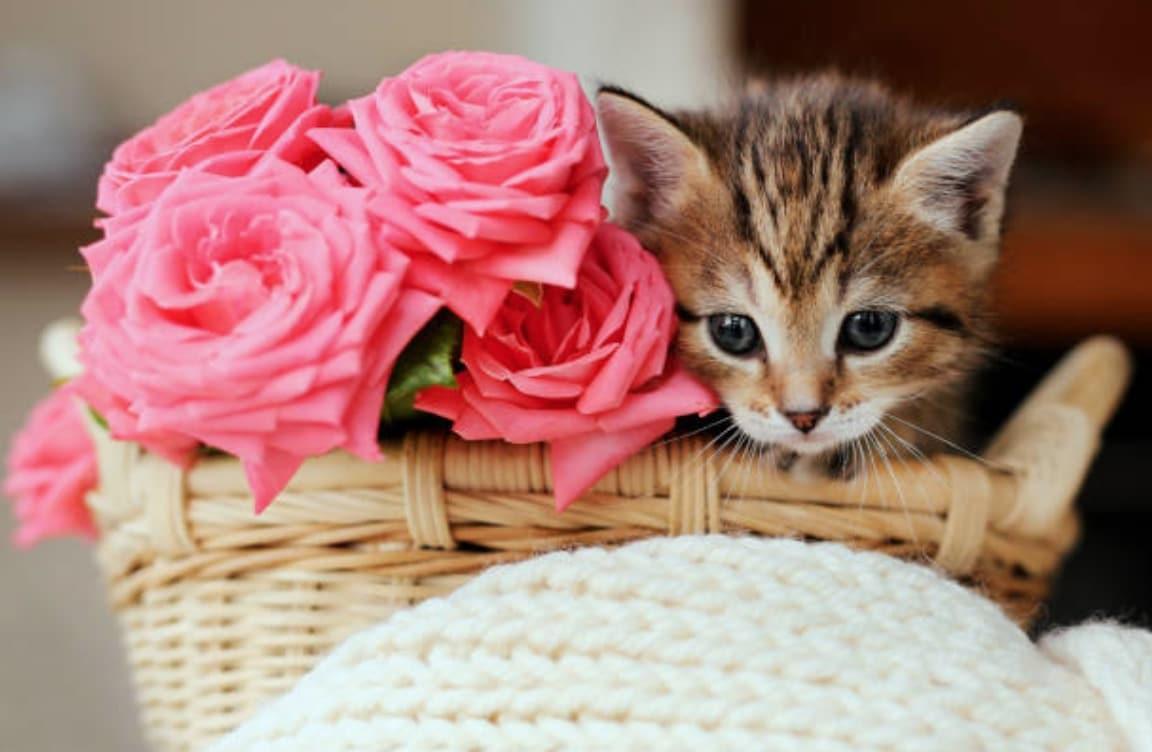 chaton fleurs roses