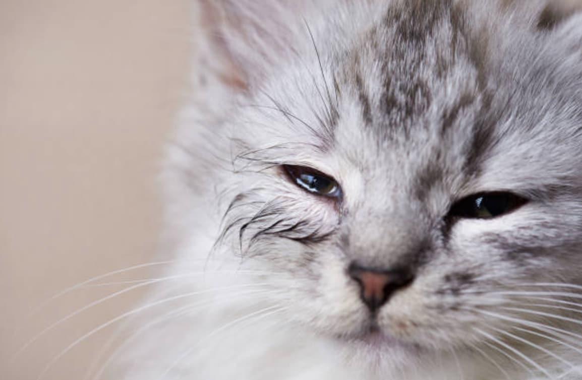 chaton yeux