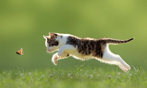 chat chasse papillon