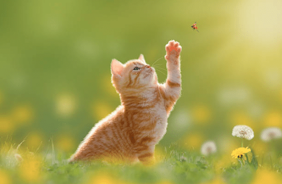 chat chasse coccinelle