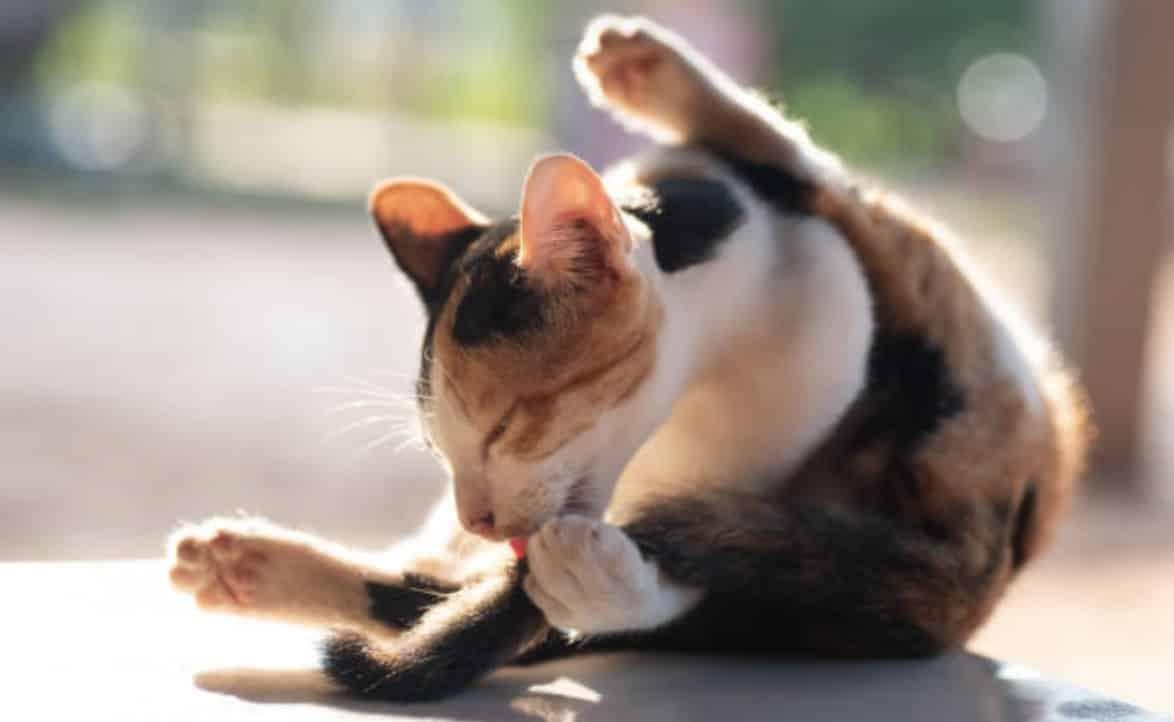 chat lèche fesses