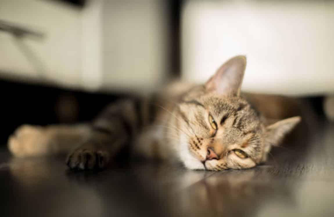 chat couché