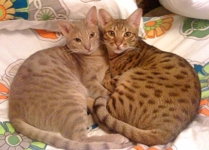 chats ocicat