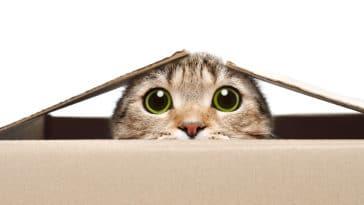 chat pupilles dilatées