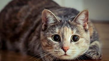 chat attaque