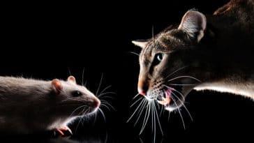 chat rat