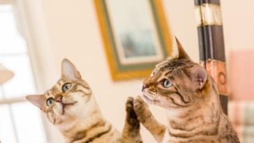 chat gratte miroir