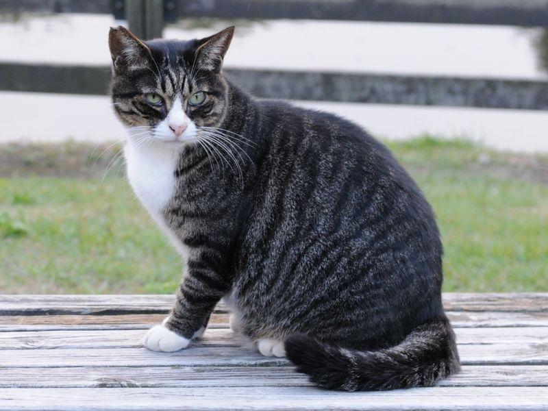 chat tigré mackerel tabby