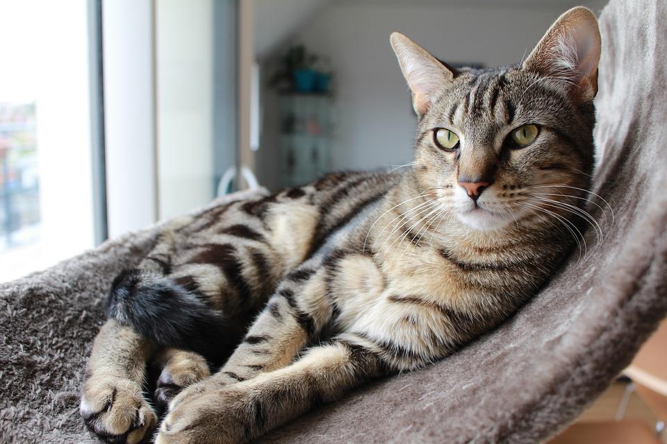 chat tigré blotched tabby