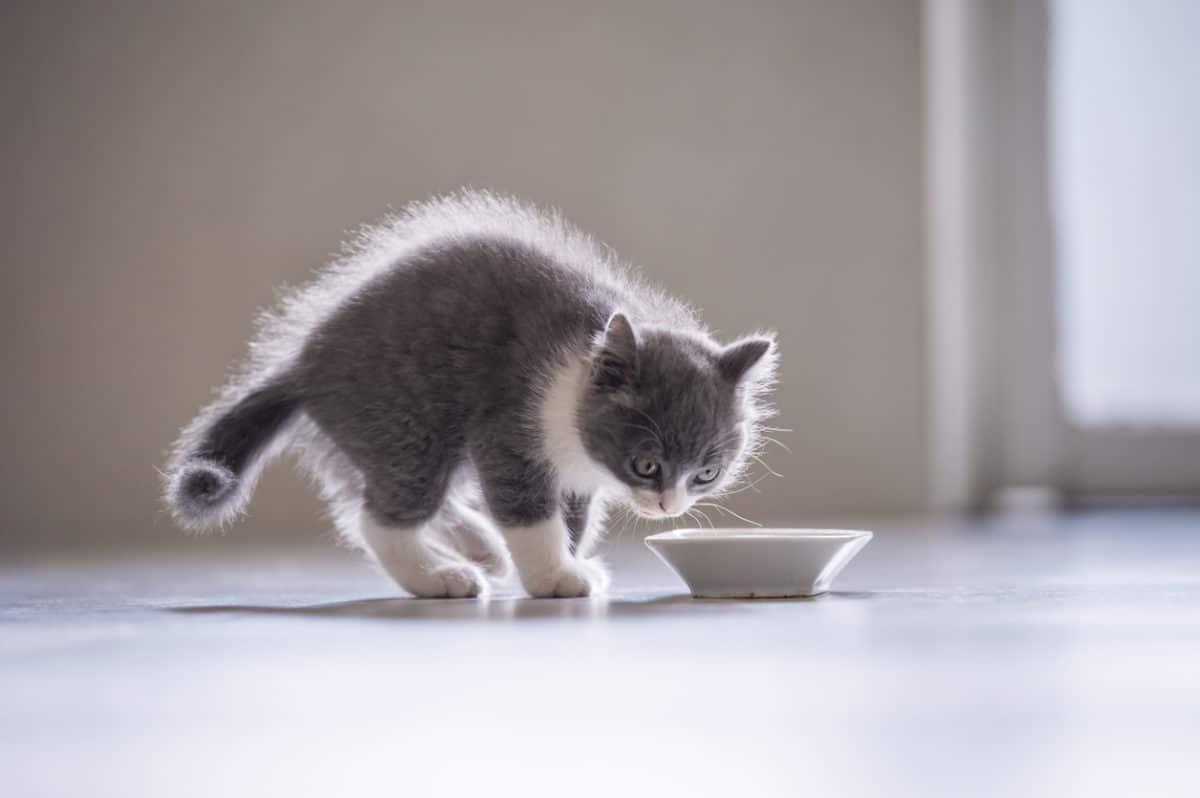 chaton mange